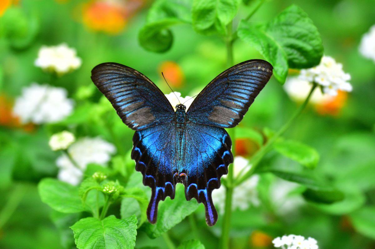 青い蝶 | 動物 > 鳥類 | GANREF